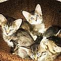 Котята от бурманской кошечки