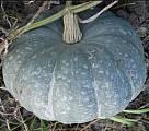 Семена тыквы мраморная